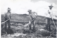 Workers on a sugar plantation in Hawaii [Courtesy of Hawaii State Archives]